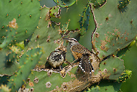 598060046 a pair of wild cactus wrens campylorhynchus brunniecepillus perch in a large opuntia plant on dos venadas ranch in starr county rio grande valley texas united states