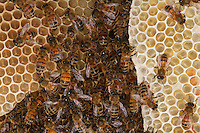In the beehive, honey bee on some new wax cells.