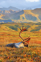 Bull caribou bedded down on the autumn tundra in Denali National Park, Alaska.
