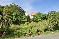 Goats walking along the road<br /> with the Moravian Church<br /> Coral Bay<br /> St. John<br /> U.S. Virgin Islands
