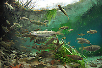 Coho Salmon Smolts<br />