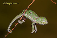 CH46-592z  Veiled Chameleon just hatched young, Chamaeleo calyptratus