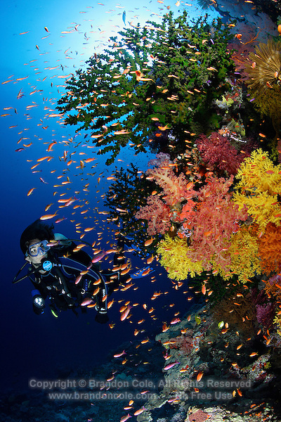 qe0086-D. scuba diver (model released) swims along colorful wall covered with soft corals (Dendronephthya sp. and Chironephthya sp.), branching cup corals (Tubastraea micrantha) with Scalefin anthias (Pseudanthias squammipinnis) fish schooling. Fiji, tropical Pacific Ocean..Photo Copyright © Brandon Cole. All rights reserved worldwide.  www.brandoncole.com..This photo is NOT free. It is NOT in the public domain. This photo is a Copyrighted Work, registered with the US Copyright Office. .Rights to reproduction of photograph granted only upon payment in full of agreed upon licensing fee. Any use of this photo prior to such payment is an infringement of copyright and punishable by fines up to  $150,000 USD...Brandon Cole.MARINE PHOTOGRAPHY.http://www.brandoncole.com.email: brandoncole@msn.com.4917 N. Boeing Rd..Spokane Valley, WA  99206  USA.tel: 509-535-3489