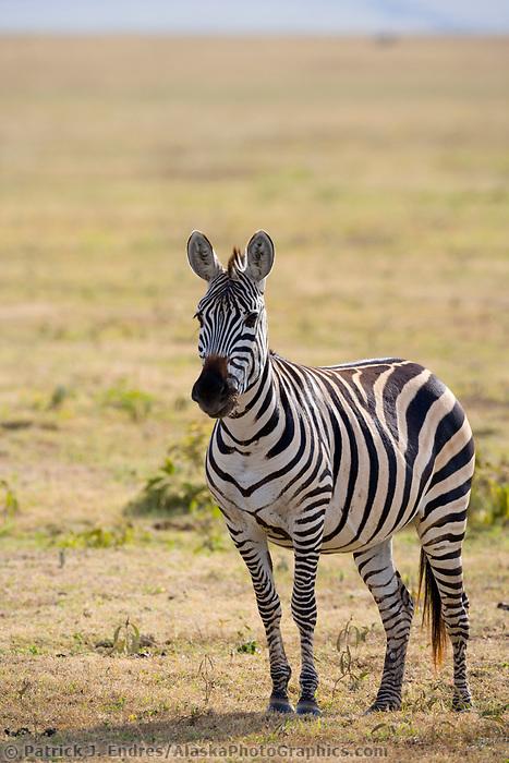 Plains zebra, Ngorongoro Crater, Tanzania, Africa