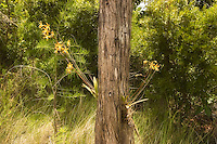 Butterfly orchids in flower deep in the heart of the Florida Everglades. These were found growing in a cypress dome - which dot the vast sea of sawgrass.