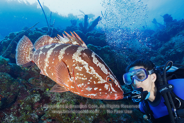 TR2192-Drr. Nassau Grouper (Epinephelus striatus), can change color and pattern, usually found on shallow coral reefs to 100 feet deep, sometimes curious toward divers and easily approachable. Populations in much of their range (Bahamas, Florida, and Caribbean) have been greatly reduced by overfishing on their spawning grounds. Cayman Islands, Caribbean Sea.<br /> Photo Copyright &copy; Brandon Cole. All rights reserved worldwide.  www.brandoncole.com
