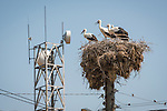 Storks nest in sticks at the top of a power pole, communications tower, Kapitan Andrevo, Bulgaria