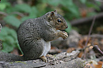 gray squirrel at Henry Cowell Redwoods SP    FB-S172.  Back small photo.  Crop to square around squirrel
