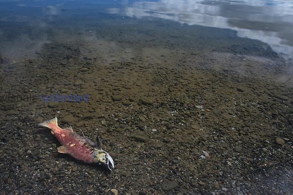 Dead Red, Kokanee, or Sockeye Salmon on the shore of a lake ,Onchorhynchus nerka,, Katmai, Alaska, USA.