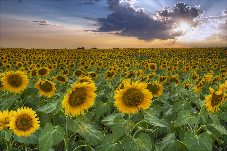 I found this field of Texas wildflowers (an amazing stretch of sunflowers) more by luck than anything. I was on my way to Dallas to work for a client when I decided to take the back roads from my home in the Texas Hill Country. After finding this location, I returned more than several times to photograph this vast expanse of gold. These are some of my favorite wildflower pictures.