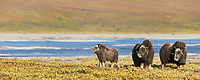 Panorama of Muskoxen along the Sagavanirktok river on the Arctic Coastal Plains, Alaska.