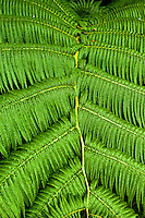 Close-up of a fern at Hawai'i Volcanoes National Park, Big Island.