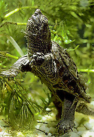1R05-002a  Snapping Turtle - young - Chelydra serpentina