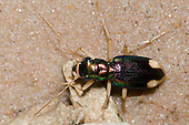 Carolina Metallic Tiger Beetle (Tetracha carolina carolina), Lake Texoma, Oklahoma, USA