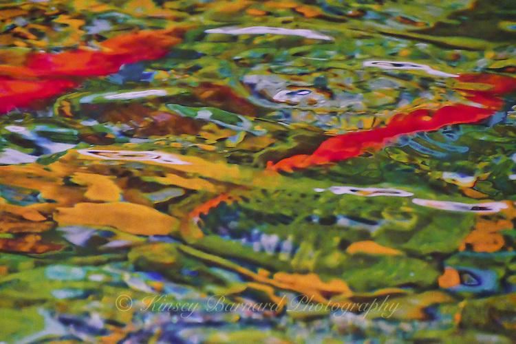 Salmon beneath the water.