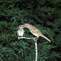 Song Sparrow (Melospiza melodia), adult feeding a fledgling, Ohio
