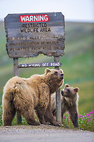 Grizzly bear sow and her cub scratch on a  roadside sign in Sable Pass, Denali National Park, Alaska
