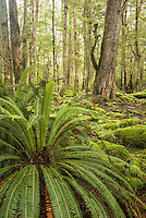 Crown fern, blechnum discolor, in beech forest, Fiordland National Park, Southland, New Zealand