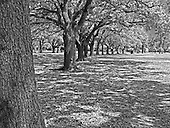 Oak Trees within Herman Memorial Park Houston, Texas.