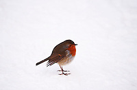 European robin (Erithacus rubecula) red breasted against a winter landscape of snow.