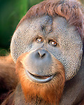 Kutai, the male orangutan at the Oregon Zoo looks through the glass in his exhibit. © Oregon Zoo / Photo by Carli Davidson