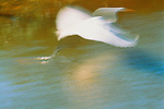 Great egret in flight, Florida, USA