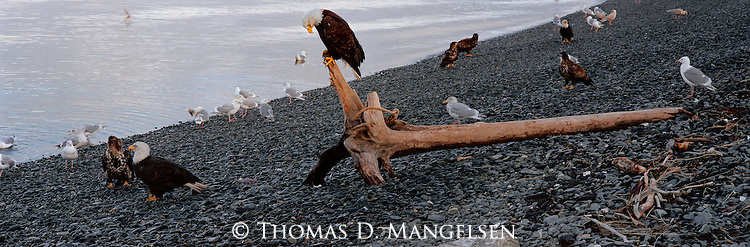 Congregating on a shore in southcentral Alaska, a group of bald eagles makes the most of driftwood carried ashore by strong oceanic tides.
