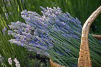 Lavender (Lavandula) cut flower in basket from garden