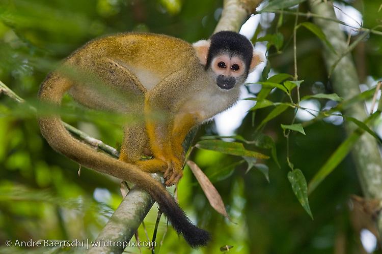 Bolivian Squirrel Monkey (Saimiri boliviensis) in lowland tropical rainforest, Rio Amigos Conservation Concession, Madre de Dios, Peru.