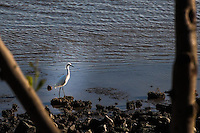 Tree limbs frame a Snowy egret patrolling the rocky San Francisco Bay shore, searching for food at San Leandro Marina Park.
