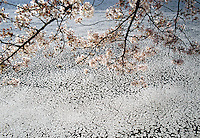 Cherry Blossom Branches and Blossoms floating on water  archival pigment on canvas 40x60 edition of 6 framed $2500 print $2000