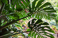 Split-leaf philodendron (Monstera deliciosa) leaf in shade backlit against bright garden