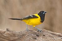 561850024 a wild audubon's oriole icterus graduacauda at santa clara ranch hidalgo county rio grande valley texas united states