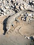 Gharial or Gavial Crocodile, Gavialis gangeticus, Corbett National Park, Uttarakhand, on riverbank, Northern India.India....