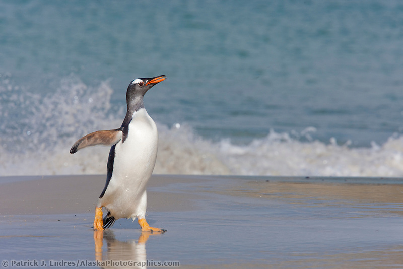 Gentoo penguin coming ashore, after foraging at sea. They feed on fish and crustaceans. New Island, Falkland Islands, United Kingdom