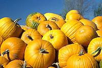 Pile of pumpkins from fall harvest and a few flies in the perfect blue sky day, Midwest USA
