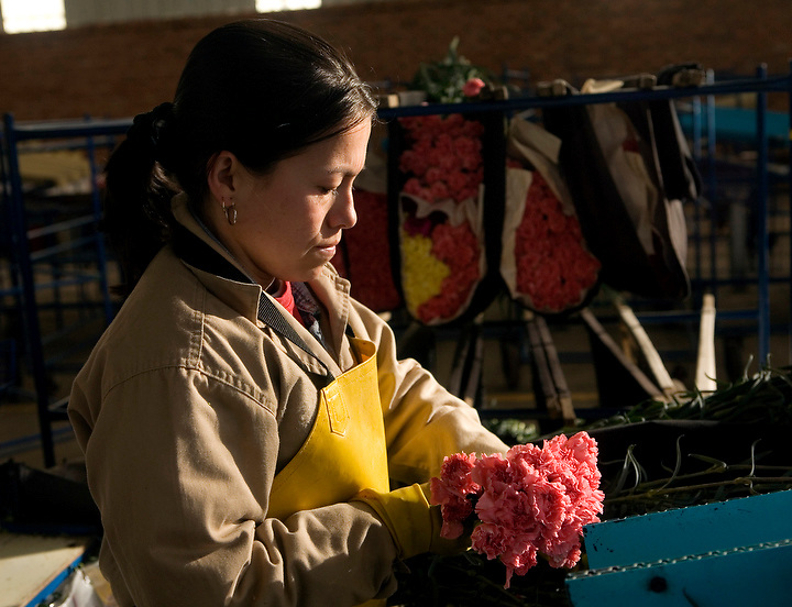 BOGOTA, COLOMBIA -- JANUARY 21:   A worker at Alpes Flowers sorts carnations prior to them being shipped to the US on January 21, 2007. (Photo by Dennis Drenner/Aurora).