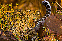 Leopard, Serengeti National Park, Tanzania