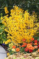 Flower garden with Forsythia x intermedia Show Off aka Mindor, Hosta, Heuchera, Tagetes Marigolds,  Ranuculus