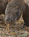 Komodo Dragons and Komodo National Park