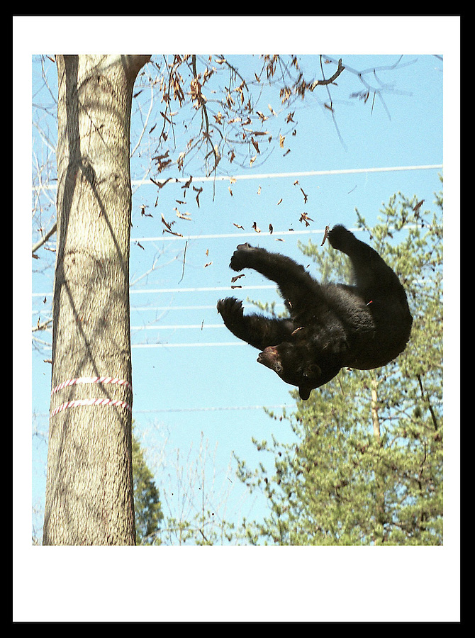 Falling Bear. Credit Image: © Andrew Shurtleff