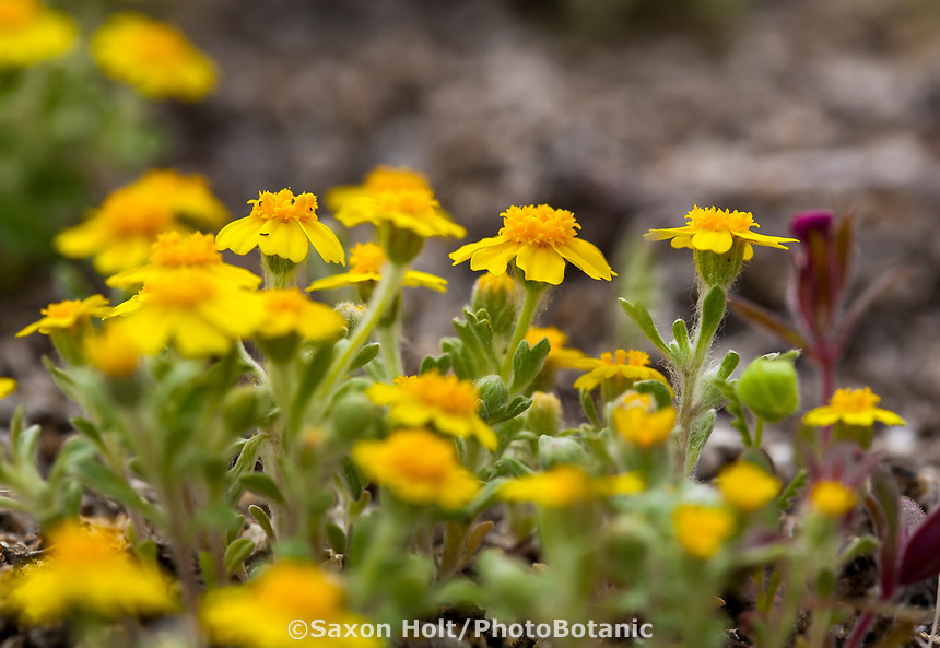 Eriophyllum wallacei var. wallacei - Wallace's Woolly Daisy, yellow flowering wildflower; California native plant Anza Borrego State Park