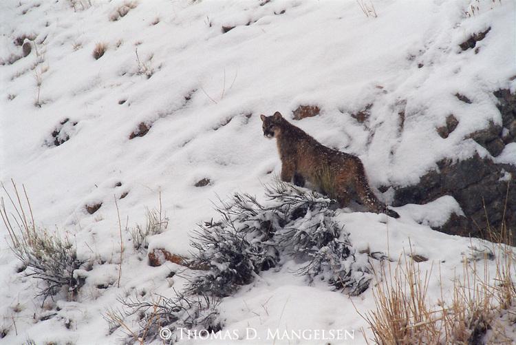 Mountain lion cub on Miller Butte.