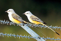 Courtesy photo/PHYLLIS KANE<br /> BIRDS OF A FEATHER<br /> A pair of scissor-tailed flycatchers roost on a fence at the Charlie Craig State Fish Hatchery near Centerton. The hatchery is a popular spot for bird watching. Phyllis Kane of Fayetteville took the picture Oct. 15.
