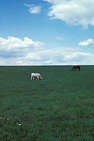 Horse and  dairy cow in field  Cattle