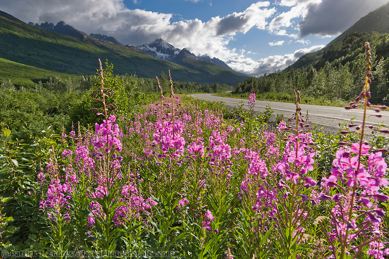 Fireweed blooms along the Richardson Highway, Alaska.