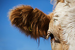 Simmental cross cow tight head shot against blue sky