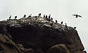 THE ISLES OF SCILLY SEABIRD RECOVERY PROJECT. SHAGS GATHER IN THE WESTERN ROCKS.<br />