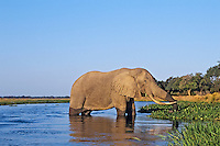 Large African Elephant bull feeds along the edge of the Zambezi River--the border between Zambia and Zimbabwe.