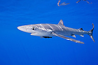 blue shark, Prionace glauca, large female with mating scar on its side, Big Island, Hawaii, USA, Pacific Ocean